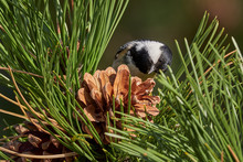 Coal Tit (Parus Ater) Sitting ...