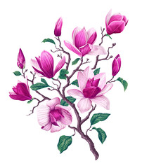 Vector botanical flowers of Pink Magnolia. Isolated magnolia illustration element. Realistic illustration of a branch spring magnolia plant, large flowers and leaves. High detailed, hand drawn art.