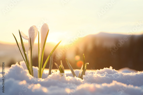 Obraz Beautiful crocuses growing through snow, space for text. First spring flowers - fototapety do salonu