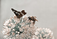 A Bumblebee And A Butterfly On A Flower Together