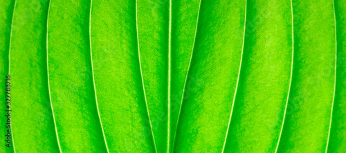 Texture of a green leaf as background. leaf texture - 327788716