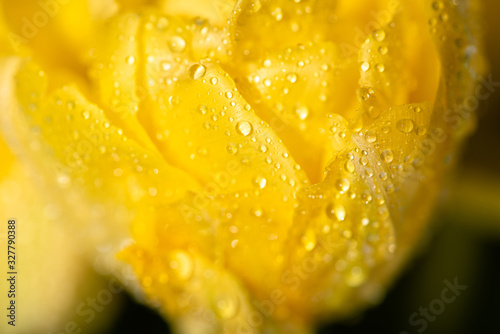 close up view of fresh yellow tulip with water drops