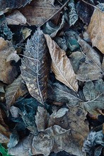 Frozen Brown Leaves In The Nat...