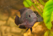 Flower Horn Male African Cichlid Fish Aquarium