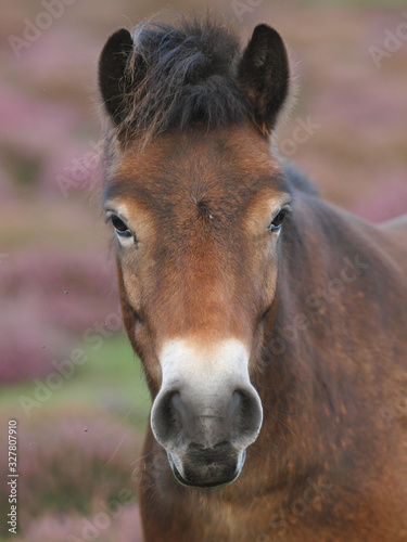 Fototapeta Exmoor Pony Headshot obraz