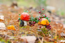 Two Mushroom Fly Agaric In The...