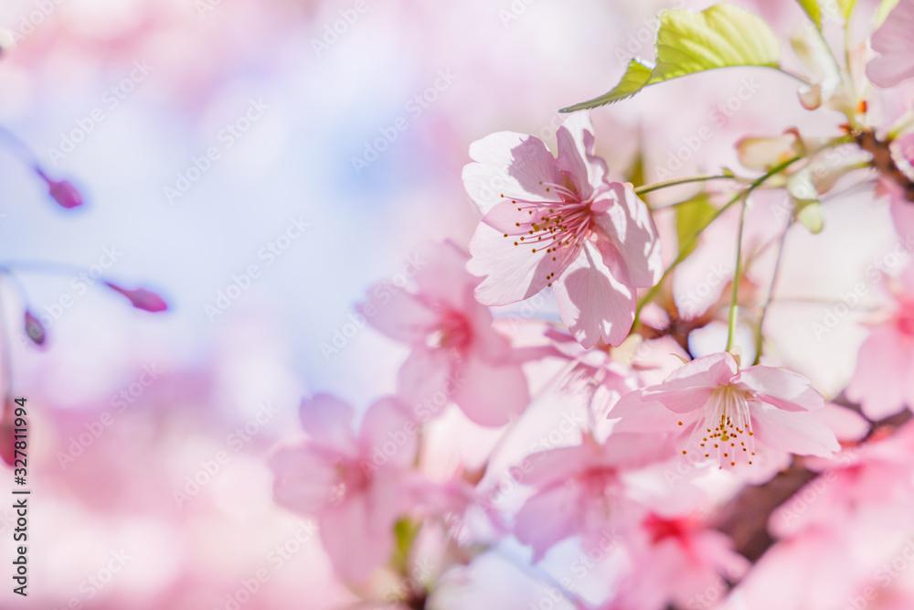 Fototapeta 満開の桜の花と新緑の葉