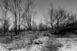 Waldbrand Busch Feuer Brandstiftung Verwüstung Asche Flammen Raub ödnis grau Schwarz weiß Bäume Äste Stämme verkohlt Hitze Tortoli Italien Sardinen Klimawandel Erderwärmung Katastrophe Gefahr löschen