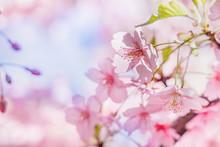満開の桜の花と新緑の...