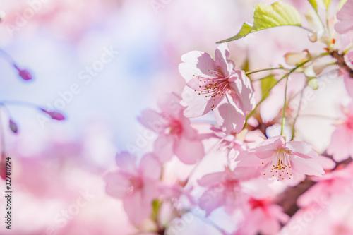 Obraz 満開の桜の花と新緑の葉 - fototapety do salonu