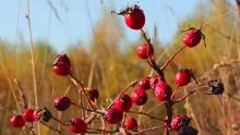 Rose Hip Fruit On Branches On ...