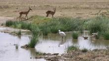 Impalas On Waterhole Serengeti