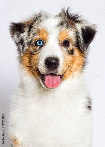 fototapeta na drzwi i meble australian shepherd th blue-eyed merle puppy muzzle on white background