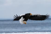 Steller's Sea Eagle Approach T...