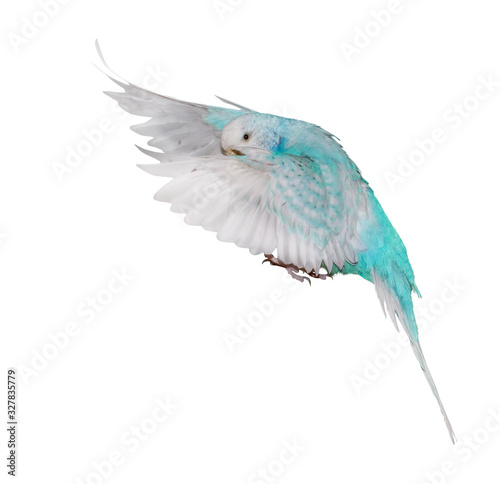 isolated white and cyan budgerigar in flight Fotomurales