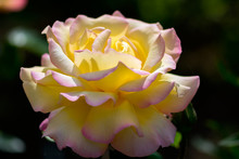 Sunlit Pink Tinged Yellow Rose (Peace) Flowering In An English Garden