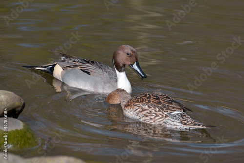 A pair of Northern Pintail (Anas acuta) in London Canvas Print