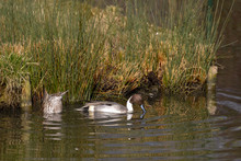 A Pair Of Northern Pintail (An...