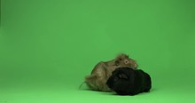 Guinea Pigs On Green Screen Ch...