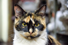 Close Up On A Calico Cat Face