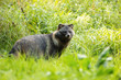 Leinwandbild Motiv Wild raccoon dog, nyctereutes procyonoides, standing in front of tall green vegetation in summer. Hairy adult mammal with dark fur on a open meadow in nature.