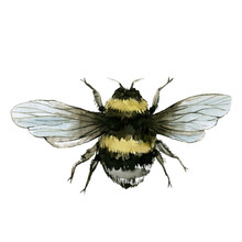 Bumblebees Watercolor Illustration , Wild Insect, Isolated On White Background