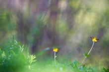 Lesser Celandine Flowers Again...