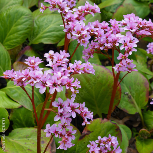 Photo Close up of a blooming pink heart-leaved bergenia cordifolia or badan plant with