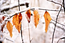 Dried Brown Leaves Capped With...