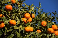 Ripe Mandarins On Tree Detail