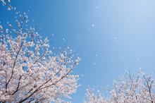 青空と桜吹雪