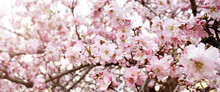 Macro Shot Of Beautiful Almond Tree Blossoms In Spring Time Over Clear Blue Sky Background. Branches Full Of Tender Pink Flowerings, Dense Flower Clusters. Background, Close Up, Copy Space, Crop Shot.