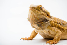 A Bearded Dragon Reptile
