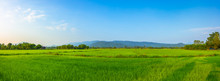 Agriculture Green Rice Field U...
