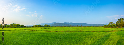 Obraz Agriculture green rice field under blue sky and mountain back at contryside. farm, growth and agriculture concept. - fototapety do salonu