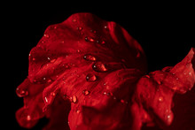 Water Drop On Red Flower After...