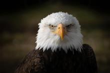 Face Portrait Of An American Bald Eagle