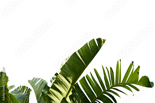 Fotografie, Obraz Group of big green banana leaves of exotic palm tree in sunshine on white background