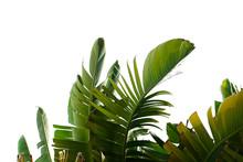 Group Of Big Green Banana Leav...