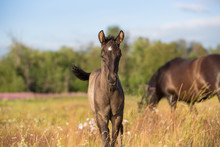 Foal Playing In Summer Meadows