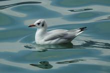 Gabbiano Comune (Larus Ridibundus) In Inverno Mentre Nuota Nell'acqua