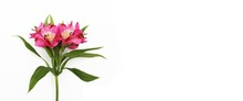 Pink Flowers On A White Background. Spring Flower Arrangement From Astromeria. Background For Greeting Cards.
