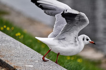 White Seagull Spreading Wings ...