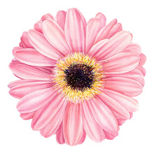 Pink Gerbera Flower Isolated On White Background. Spring Watercolor Daisy.