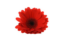 Red Gerdera Isolated On White ...