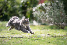 Blue Tabby Maine Coon Cat Running On Meadow At High Speed