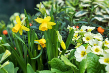 City Landscaping. Daffodils An...