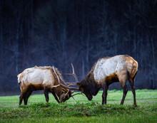 Elk Jousting In Meadow At Dusk