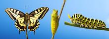 Transformation Of Common Machaon Butterfly Emerging From Cocoon Isolated