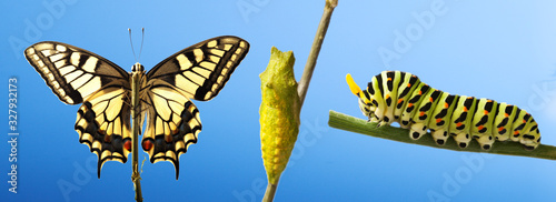Cuadros en Lienzo Transformation of common machaon butterfly emerging from cocoon isolated